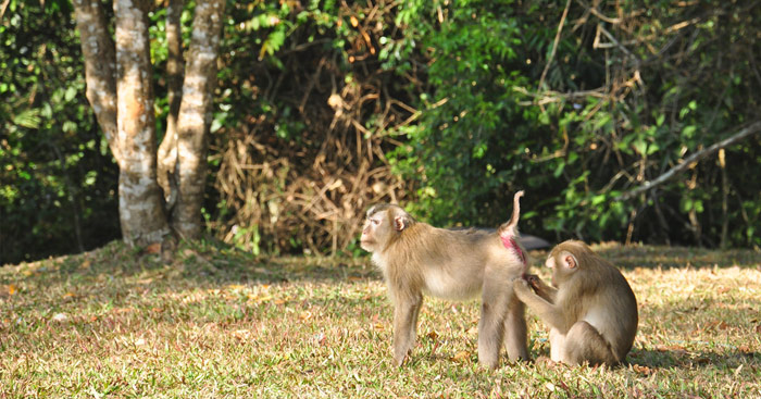 Macaque Khao Yai National Park